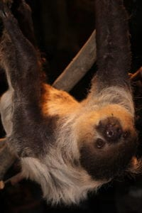 Two Toed Tree Sloth