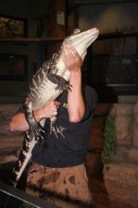 American Alligator Photo Information