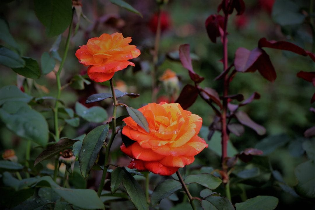 Hershey Rose Garden