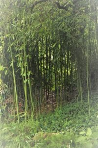 Lush Bamboo Forest Hershey Gardens