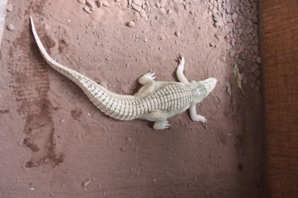 Reptiland: Rare Albino Alligator