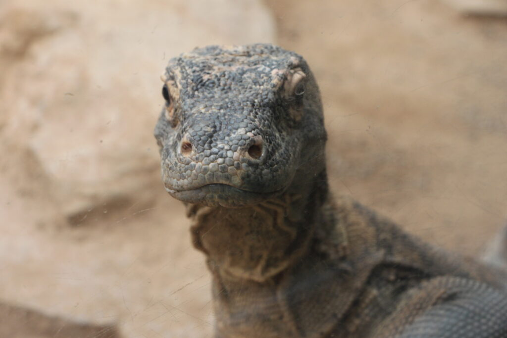 Reptiland Komodo Dragon
