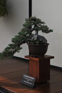 Bonsai on display at Longwood Gardens