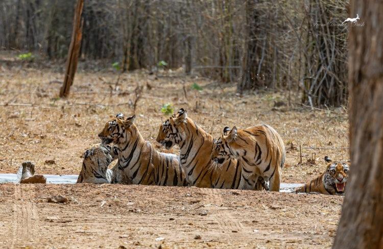 Royal Bengal Tigers by Wildlife Photographer Debashish Dutta