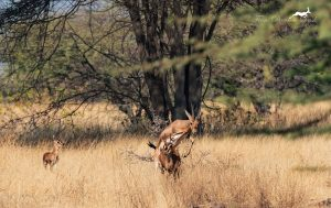 Indian Gazelles mating in Mayureshwar Wildlife Sanctuary