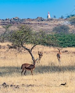 Debashish Dutta photography of Indian Gazelle, Chinkara, Mayureshwar Wildlife Sanctuary India