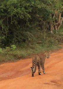 A Sri Lanka Leopard Up Close