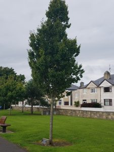 Scranton Tree is found in Ballina, County Mayo, Ireland, a Scranton, Pennsylvania, U.S.A. sister-city.