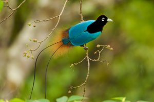 Male Blue Bird-of-Paradise in New Guinea. Photo by Tim Laman.