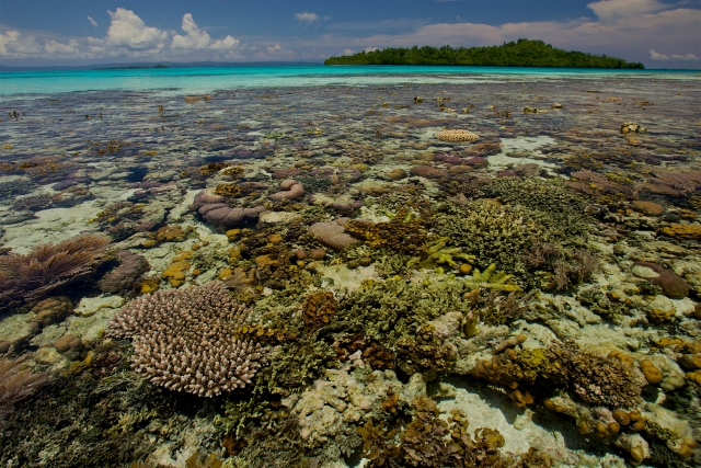 A very low tide reveals a coral reef. Photo by Tim Laman. New Guinea's Natural History