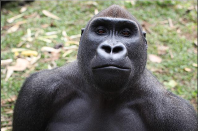Africa's Gorillas are in danger